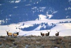 Elk Hunters Dream stock image