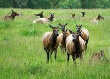 Elk herd Royalty Free Stock Photo