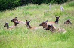 Elk herd Stock Photos