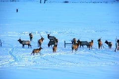 Free Elk In Snow Stock Photos - 59956393