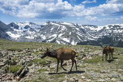 Free Elk In The Rocky Mountains Stock Photography - 42868162