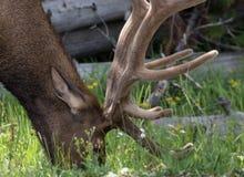 Free Elk In Yellowstone Stock Image - 61888691
