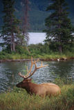 Elk in Jasper National Park Stock Photo