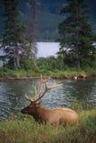 Elk in Jasper National Park. An elk rests alongside a river in Jasper National Park in the Canadian Rockies Stock Photo