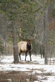 Elk at Jasper Park Lodge stock image