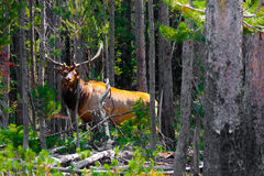 Elk in the Jungle in Yellowstone National Park Stock Photography