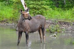 Elk in a lake Stock Photos