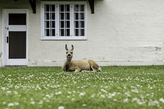 Elk and Lawn. The little elk is enjoying sunshine on the beautiful lawn Stock Photos