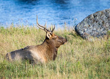 Elk. An elk lays by a river Stock Photography