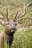 Elk Listening. Large Bull Elk paying close attention to the photographer Royalty Free Stock Image