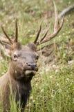 Elk Listening Royalty Free Stock Image