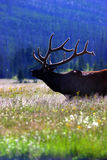 Elk with lit velvet 2 Royalty Free Stock Photos