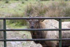 Elk looking through gate. Royalty Free Stock Photos