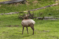 Elk Looking over its Shoulder Royalty Free Stock Photos