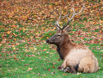Elk Lying Down on a Fall Day Stock Photos