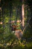 Elk lying in grand teton forest Stock Photo