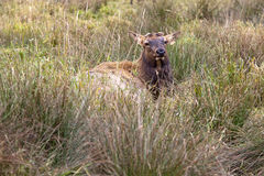 Elk lying in grass. Royalty Free Stock Image