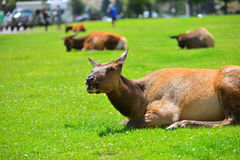An elk lying in the green grass Royalty Free Stock Photography