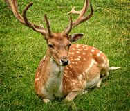 Elk Lying on Green Grasses Royalty Free Stock Photos