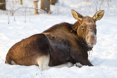 Elk lying on the snow Royalty Free Stock Photography