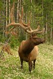 Elk male Stock Photo
