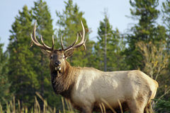 Elk_male1 Images libres de droits