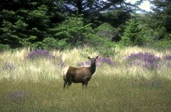 Elk in a Meadow Stock Image