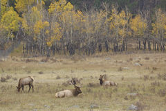 Elk in Meadow Royalty Free Stock Image