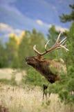 Elk in meadow, calling Stock Images
