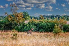 Elk in the meadow royalty free stock photo