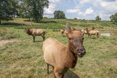 Elk in meadow by pond Royalty Free Stock Image