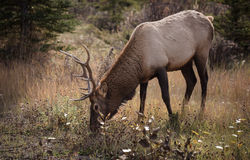 Elk in a medow 7 Stock Photo