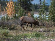 Elk in a medow  Royalty Free Stock Photography