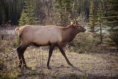 Elk in a medow  Stock Image