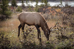 Elk in a medow  Stock Photo