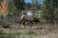 Elk in a medow  Royalty Free Stock Images