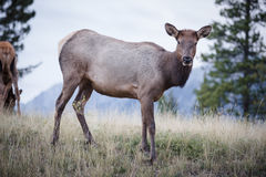 Elk in a medow  Royalty Free Stock Photos