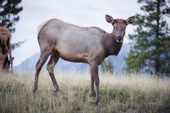 Elk in a medow  Royalty Free Stock Photos