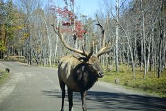 Elk in the middle of the road. Big male elk walking in the middle of the road with cars in the background Stock Image