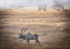 Elk in Mist, Rocky Mountain National Park, Colorado. A male, or bull, elk, of the North American species of elk, Rocky Mountain subspecies,  walks through the Royalty Free Stock Image
