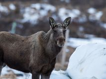 Elk or moose, Alces alces, next to a haylage round bale on Dovre in Norway. Elk or moose, Alces alces, Elk or moose, Alces alces, next to a haylage round bale Stock Photography