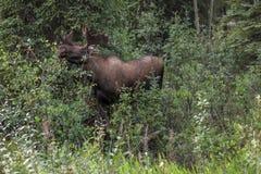 Elk, moose, alces Royalty Free Stock Photo