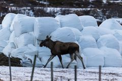 Elk or moose, Alces alces, walking towards haylage round bales to feed, on Dovre in Norway. Elk or moose, Alces alces, young animal walking towards haylage round Royalty Free Stock Images