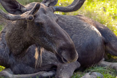 Elk Stock Image