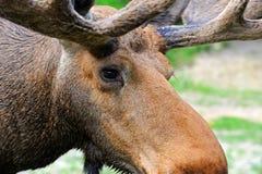 Elk Royalty Free Stock Photos