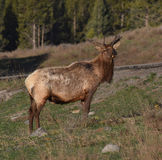 Elk in the morning light Stock Photography