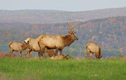Elk in Morning Sunlight Stock Photography