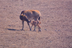 Elk mother and child Stock Photography