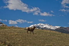Elk on a mountain Stock Images