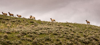 Elk on the Mountain Royalty Free Stock Images